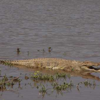 The crocodiles watch and wait for the wildebeest
