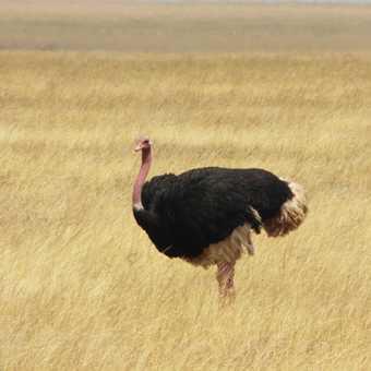 Serengeti ... ostrich in vast savannah