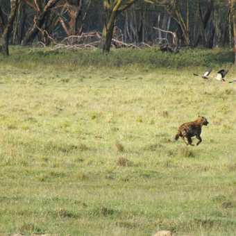 Hippos and Cormorants, Lake Naivasha