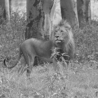 Nakura Park - male lion