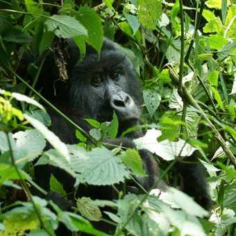 Juvenile gorilla sitting in the sun