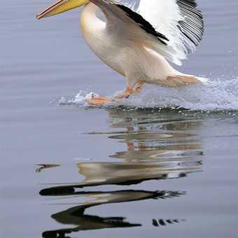 Pelican landing, Walvis Bay