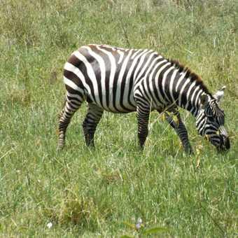 zebra lake nakuru