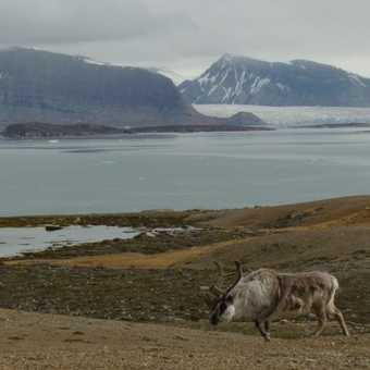 Reindeer and Glacier