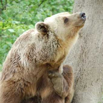 Bear scratching in Zarnesti bear sanctuary