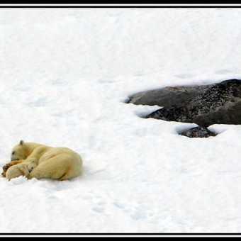 Polar Bear & Cub 5