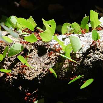 Leaf Cutting ants - Tambopata Reserve