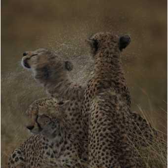 Cheetah shake