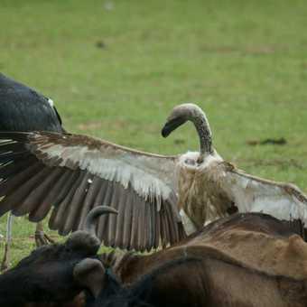 Top Vulture!! Masai Mara
