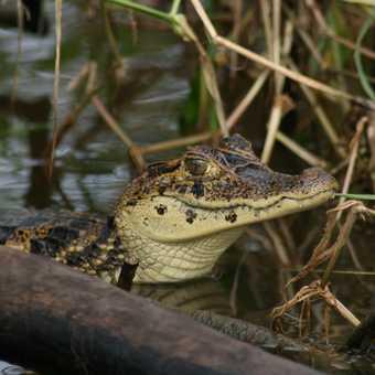 A happy crocodile basking in the sun