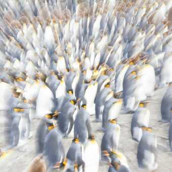 Twisty turny king penguins