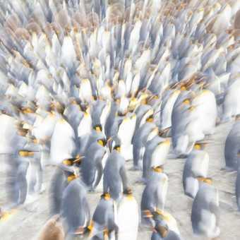 Twisty turny king penguins