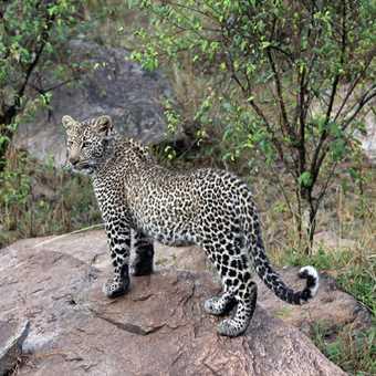 Posing Leopard