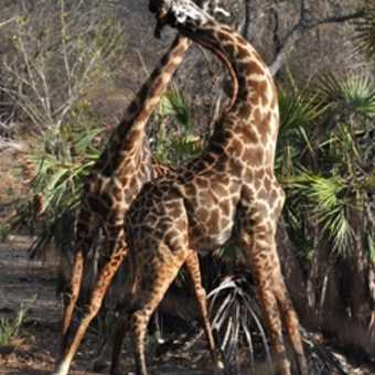 Slow motion balletic giraffe neck bashing