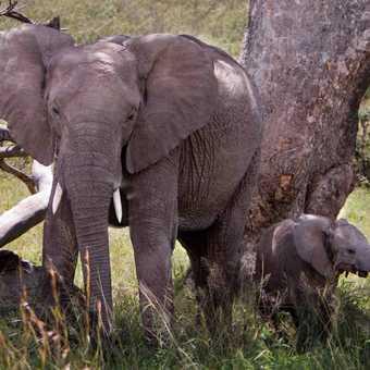 Mother & Calf, Masai Mara.