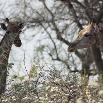 Giraffe pair - Linyanti