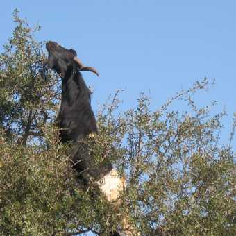 Goat up a tree