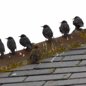 Roof starlings
