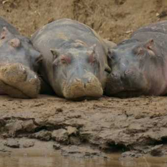 Hippos chilling out on banks of River Mara, Kenya