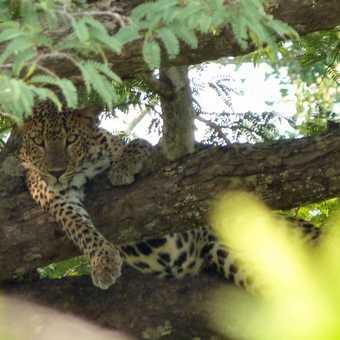 Tree Leopard