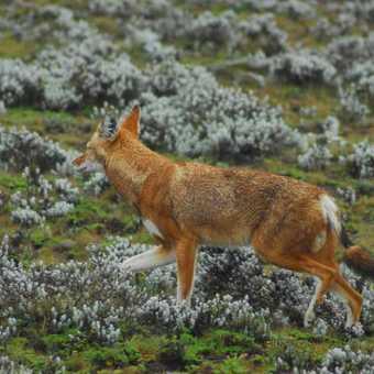 ethiopian Wolfs