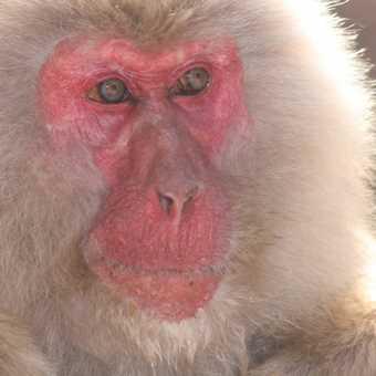Snow Monkey 02, Yudenaka