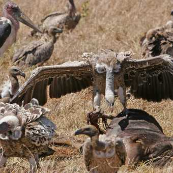 Vulture stakes his claim to the Wildebeest
