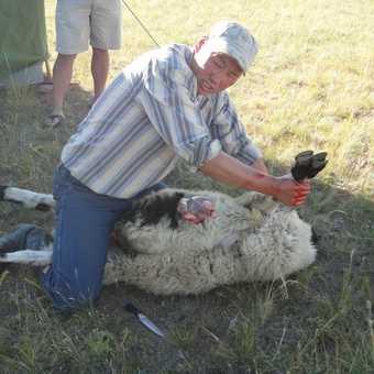 KILLING THE SHEEP
