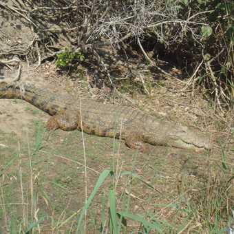 Biggg Croc