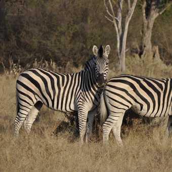 Zebra with wonky stripes....