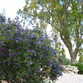 Lavender at entrance to Cortijo