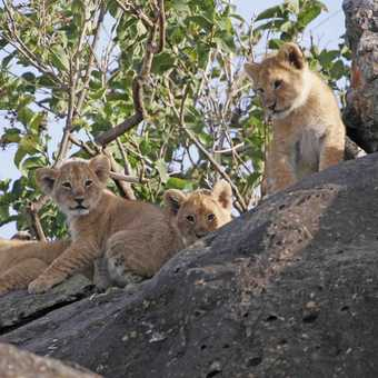 Lion cubs in the rocks