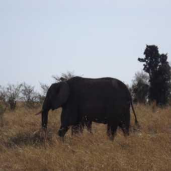 elephant herd member