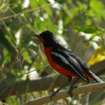 Crimson breasted bush shrike