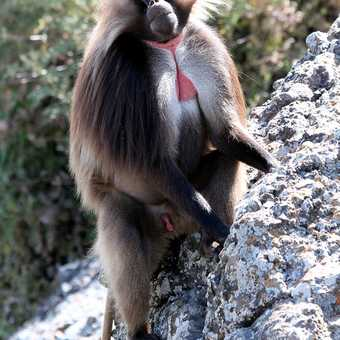 Gelada Baboon, an endemic species - Debre Libanos