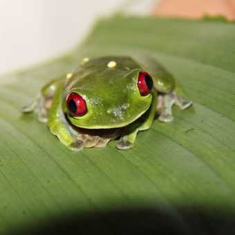 red-eyed tree frog, Esquinal Rain Forest