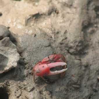 Fiddler crab in the Sunderbans