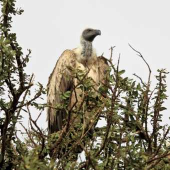 Whits backed Vulture