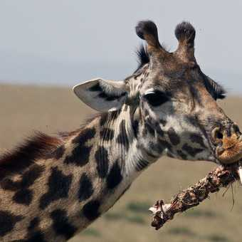 Unusual diet for a giraffe
