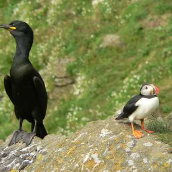 Shag and Puffin