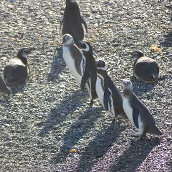 Pick up a penguin