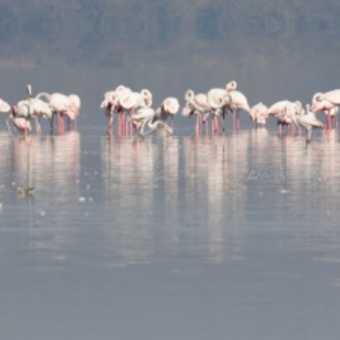 flamingos (Lake Nakuru)