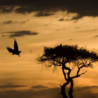 Vulture flies the nest at sunset
