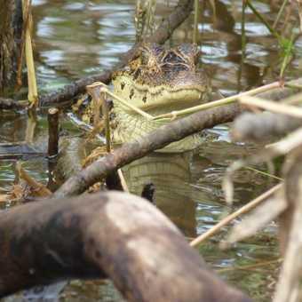 Baby caiman