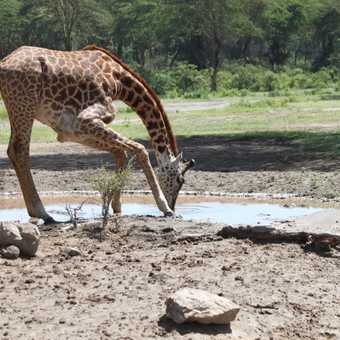 Giraffe drinking - walking safari - nakuru