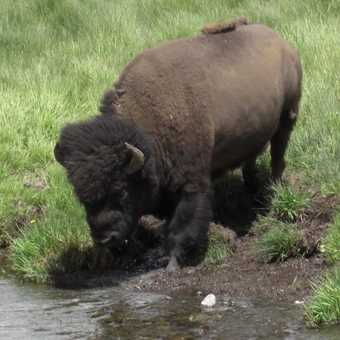 Bison getting his feet wet (Lamar Valley Yellowstone NP)