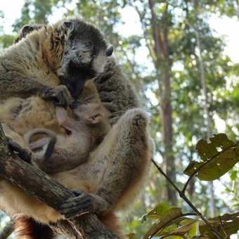 Common Brown Lemur Family