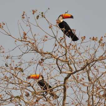 Toucans - Pantanal