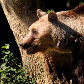 brown bear 1
