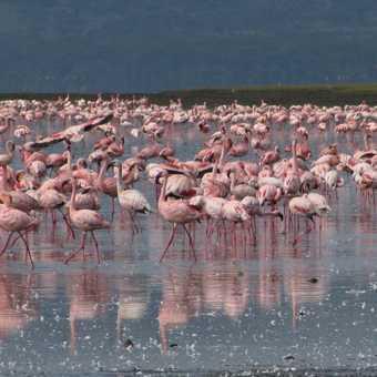 Pink Flamingos at Nakura Lake